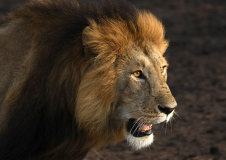 lion.jpg  Originally uploaded by marmelder